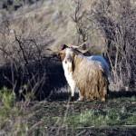 Angora Goat - $525