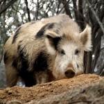 Feral Hogs - $525