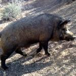 Euro/Russian Boar - $625