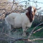 Spanish Goat - $525